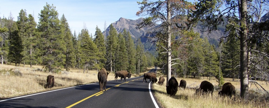 Bison_Roadblock_in_Yellowstone_Natonal_Park